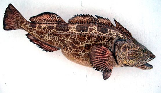 Lingcod Fish Taxidermy Mount
