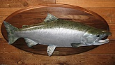 Silver Salmon Trophy Fish Mount: Silver Salmon Fish Taxidermy