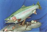 Rainbow Trout Mount: Rainbow Trout Fish Mount-Table Top Habitat