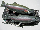 Alaska Rainbow Trout Fish Mounts: Rainbow Trout Fish Replicas & Fish Reproductions