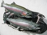 Rainbow Trout Reproduction Habitat Display: Rainbow Trout Habitat Fish Mount