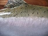 Silver Salmon or Coho Salmon Fish Mount: Silver Salmon Fish Mount - Side Detail of Taxidermy