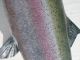Steelhead Replica: Steelhead Fish Mount - Quality Fiberglass Fish Replicas